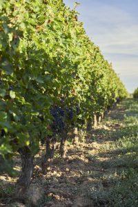 Reportage photo - Photo de vignes- Domaine viticole - Thierry Pousset - Bordeaux - Gironde - Nouvelle aquitaine - Photographe professionnel